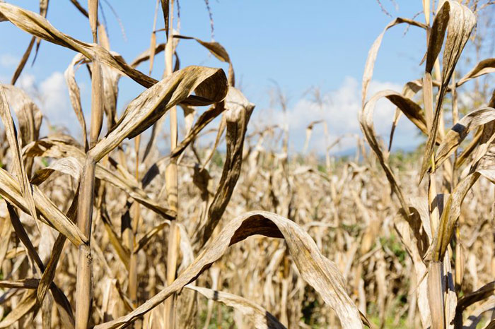 Drought-Damaged Crops Covered by Bank of Elgin Multi-Peril Crop Insurance